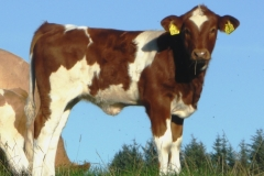 SOLD Fedal Magenta PP (PHS Polled Worlwide x Holm Frede HP)