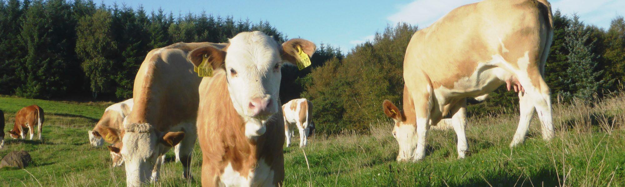 Fedal Simmental Denmark. Heterozygous Polled Heifer In Pasture. Red broken colour.