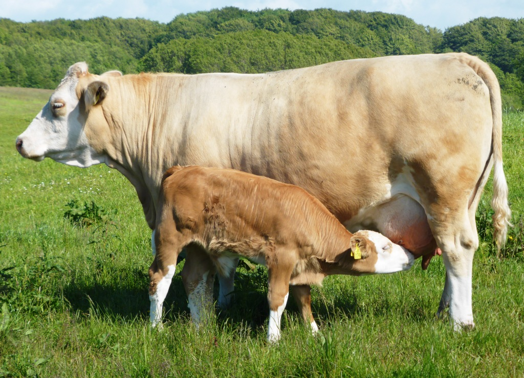 High milk yield and healthy udder - Simmental cow with calf from Fedal Simmental