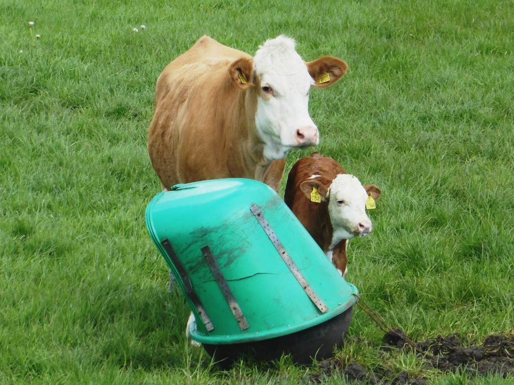polledness-simmental cow and calf-dispenser-fedal simmental