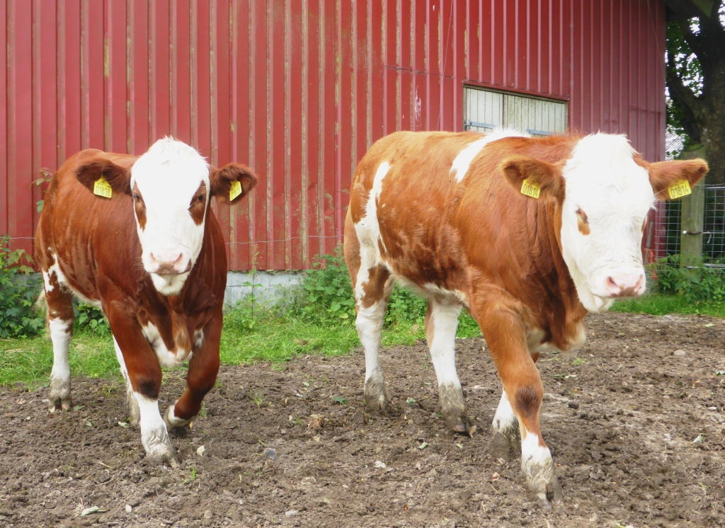 Purebred heterozygous and homozygous polled heifers. 7 months old. Fedal Simmental Denmark