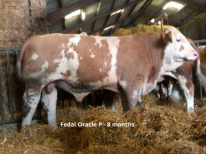 Fedal Oracle P - FOR SALE Image