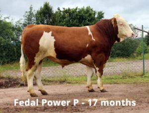 Fedal Power P - SEMEN FOR SALE Image